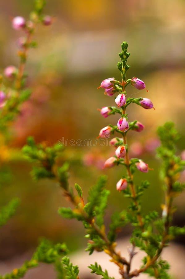 Filial av att blomma ljungsalongen arkivbild