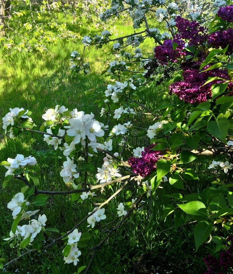 Filial av att blomstra äppleträd, lilor, mot bakgrunden av grönt gräs, royaltyfri fotografi