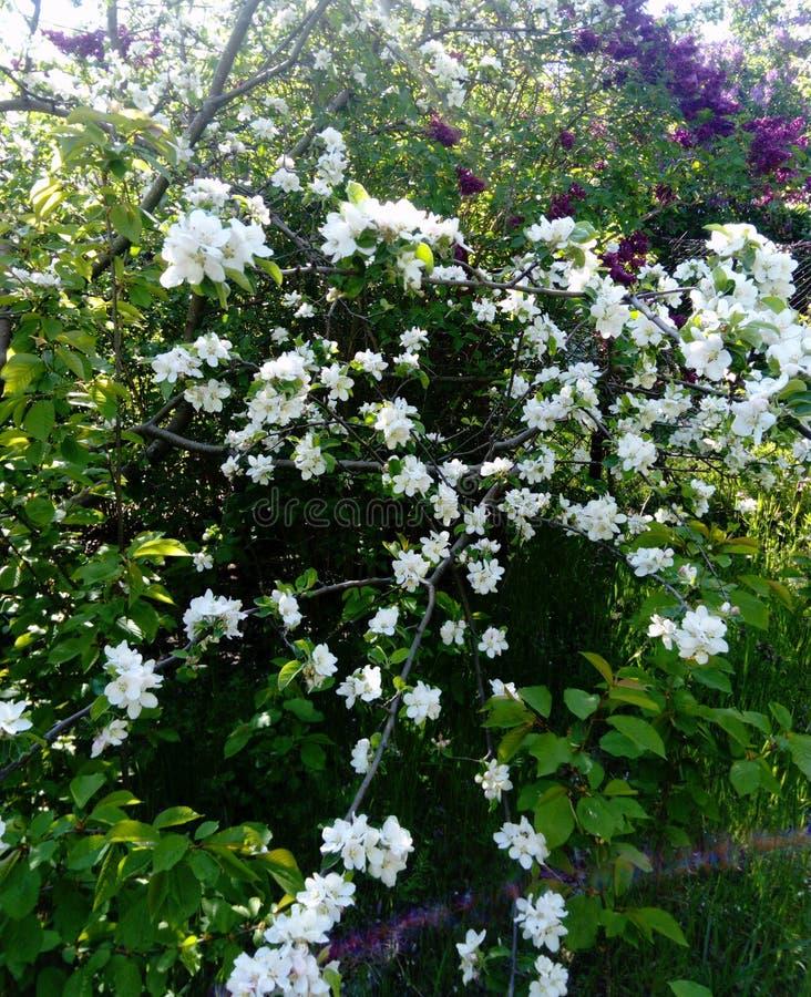 Filial av att blomstra ?ppletr?d, lilor, mot bakgrunden av gr?nt gr?s, arkivbild