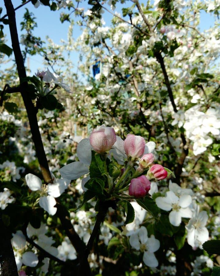 Filial av att blomstra ?ppletr?d, lilor, mot bakgrunden av gr?nt gr?s, royaltyfri foto