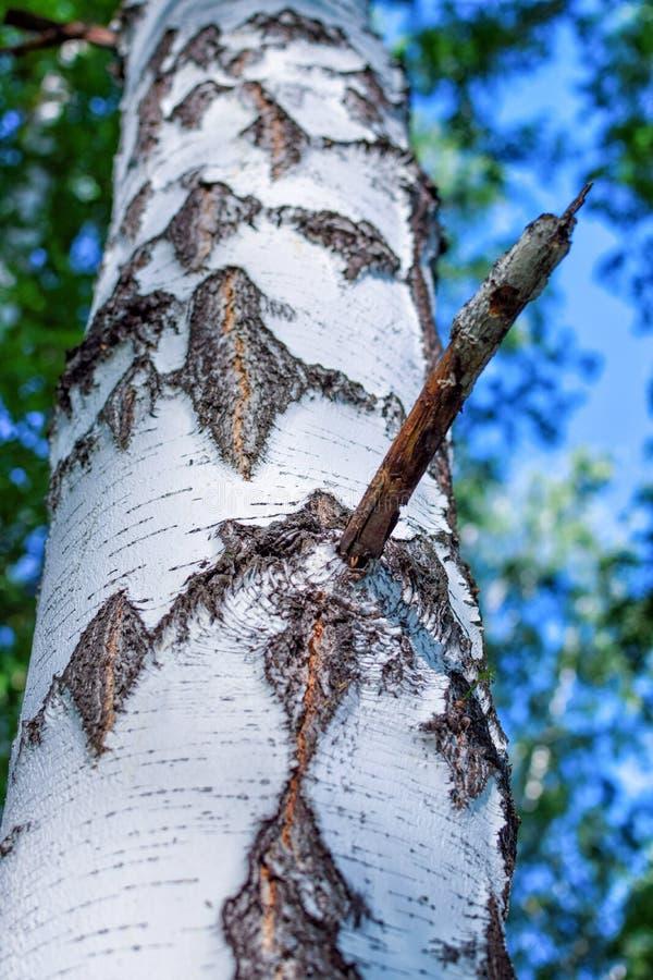 Filial av björken med det härliga skället i skog på sommar fotografering för bildbyråer