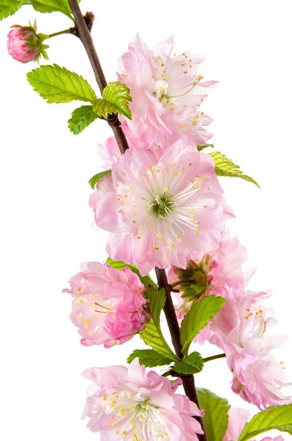 Filial av blomningmandelträdet med rosa blommor och gröna sidor som isoleras på vit bakgrund arkivfoto