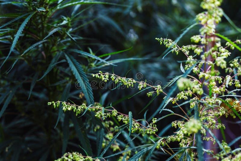 Filial av cannabis och marijuana Ganja härligt träd för hampa royaltyfri bild