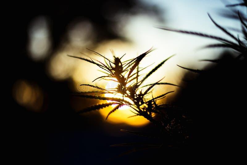 Filial av cannabis och marijuana Ganja härligt träd för hampa royaltyfri fotografi