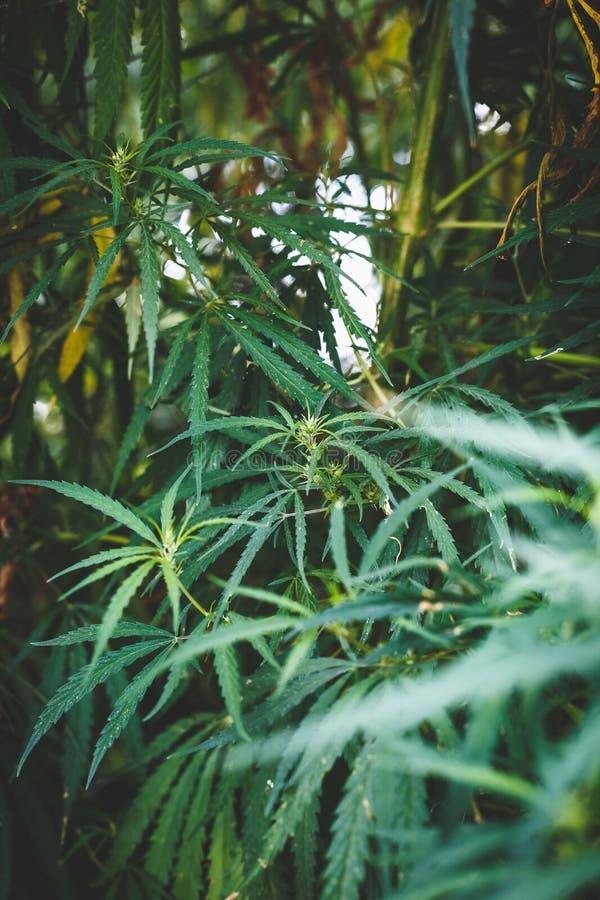 Filial av cannabis och marijuana Ganja härligt träd för hampa arkivbild