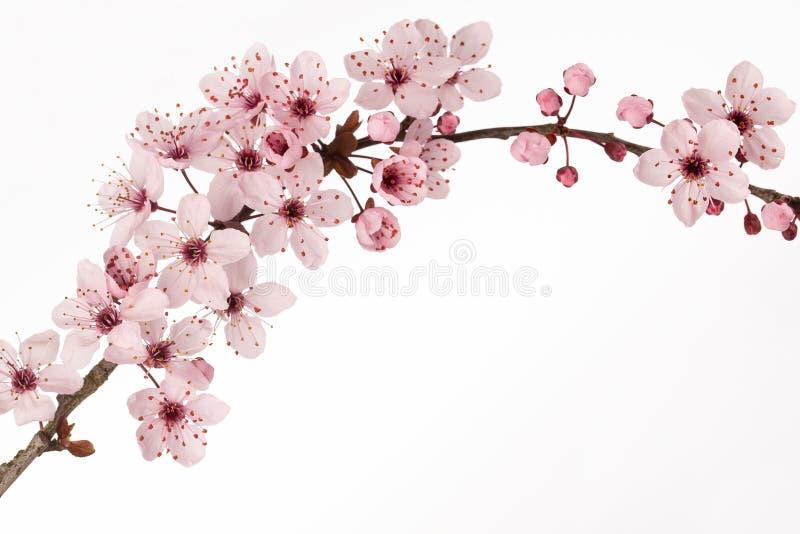Filial av den japanska körsbärsröda blomningen med vit bakgrund arkivbild