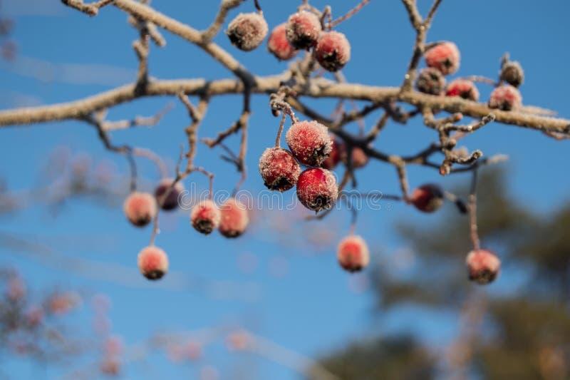 Filial av den röda fryste hagtorn royaltyfria foton