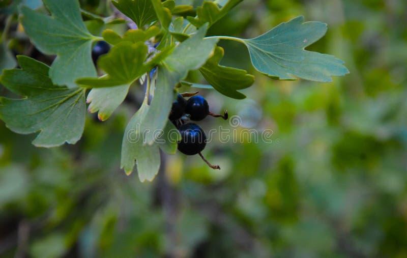 Filial av den svarta vinbäret i trädgården på solen, lantgårdträdgård royaltyfria bilder
