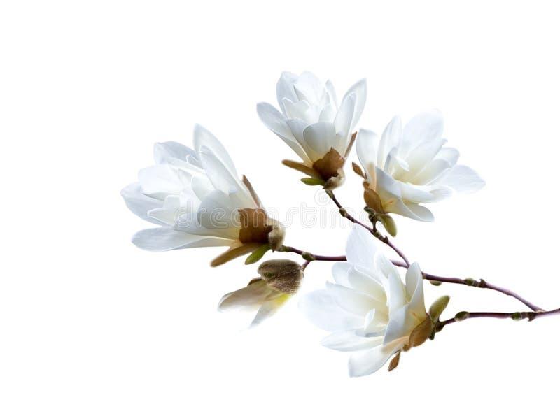 Filial av den vita japanska magnoliakobusen som isoleras på vit bakgrund royaltyfria foton