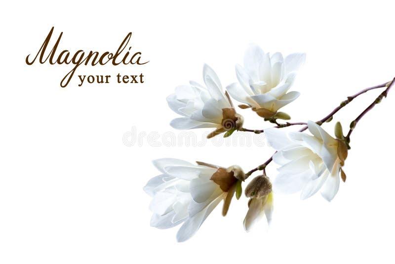 Filial av den vita japanska magnoliakobusen som isoleras på vit bakgrund royaltyfri fotografi