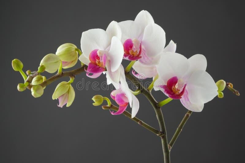 Filial av den vita orkidéblomman på den gråa bakgrunden arkivfoton
