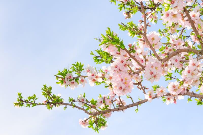 Filial av det körsbärsröda trädet för rosa färgvårblomning arkivbilder