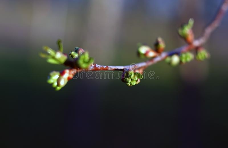 Filial av det körsbärsröda trädet i vår Knoppar för söt körsbär har brustit och att exponera blommaknopparna arkivfoto