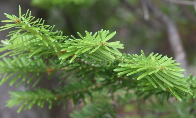 Filial av det ursnygga gröna barrträdträdet royaltyfri foto