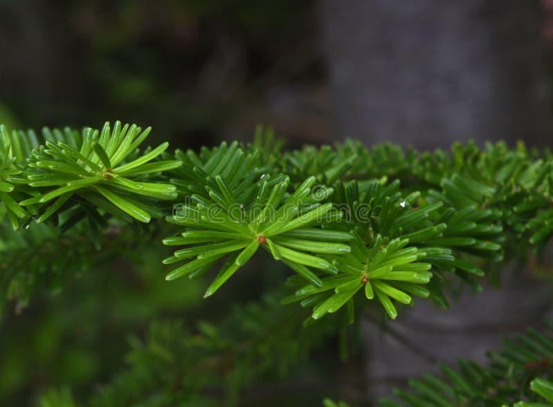 Filial av det ursnygga gröna barrträdträdet arkivfoto