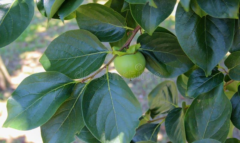 Filial av diospyrosen för persimonträd med en omogen frukt arkivbild