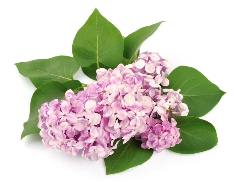 Filial av en lila royaltyfri bild