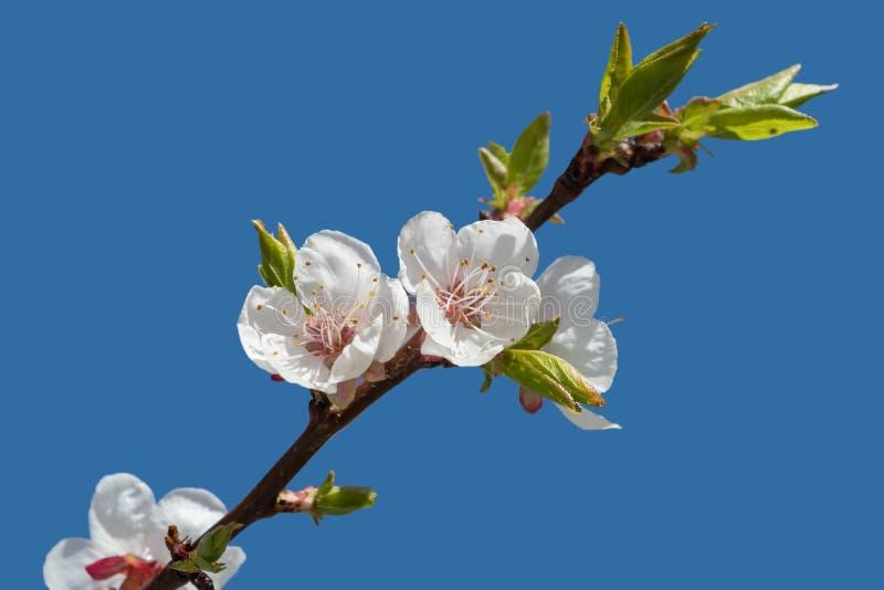 Filial av ett äppleträd med blomningblommor på blå himmel royaltyfria bilder