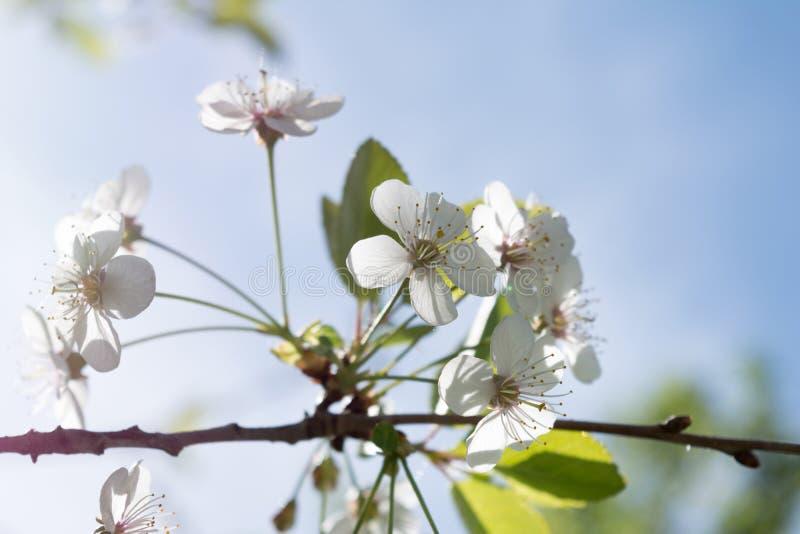 Filial av ett äppleträd med vita blommor och gräsplansidor, ett blommande trädgårds- träd, naturbakgrund arkivbild