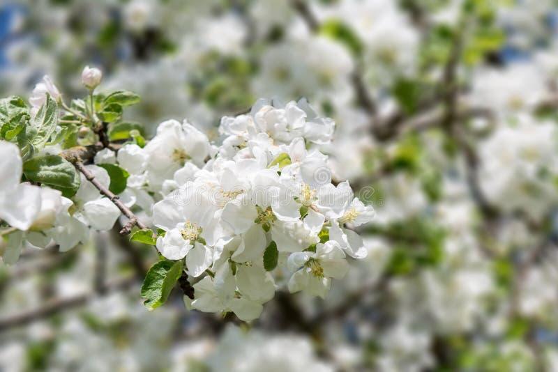 Filial av ett äppleträd med vita blommor och gräsplansidor, ett blommande trädgårds- träd, naturbakgrund arkivfoto