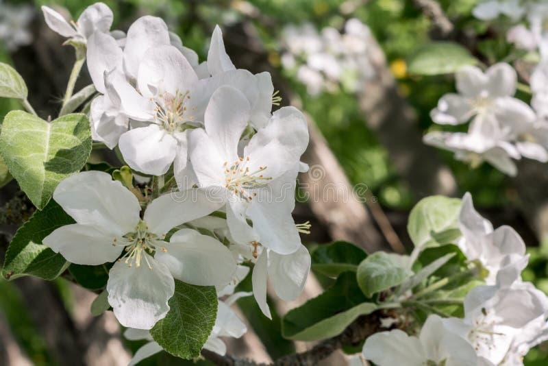 Filial av ett äppleträd med vita blommor och gräsplansidor, ett blommande trädgårds- träd, naturbakgrund royaltyfri fotografi