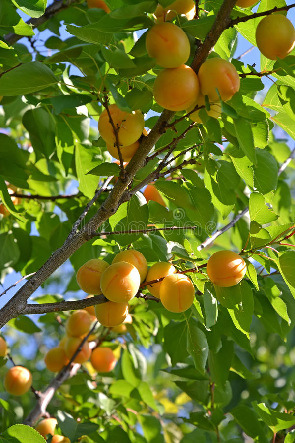 Filial av ett aprikosträd med mogna frukter royaltyfri fotografi