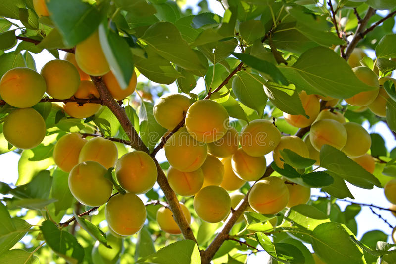 Filial av ett aprikosträd med mogna frukter royaltyfri foto