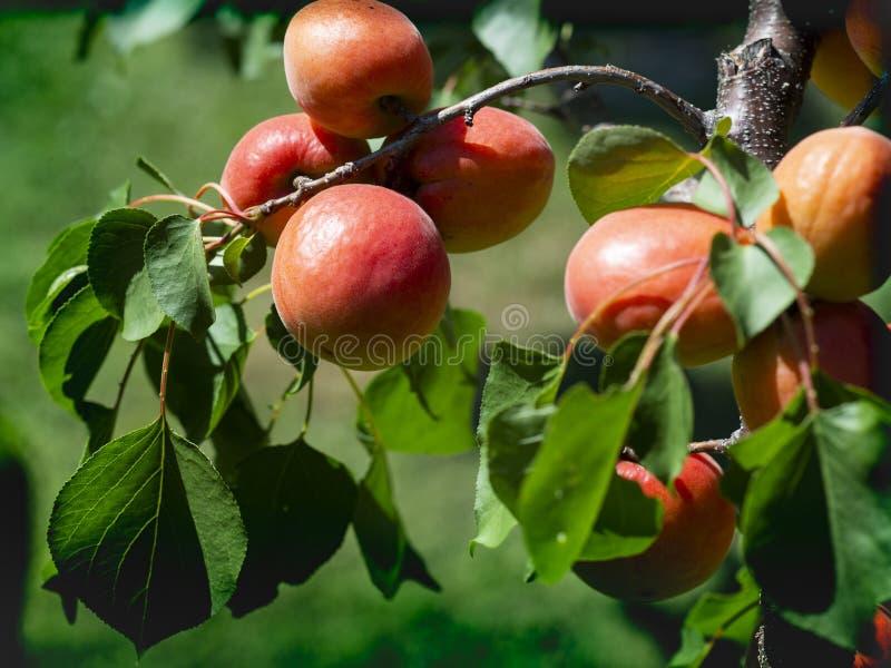 Filial av ett aprikostr?d med mogna frukter fotografering för bildbyråer