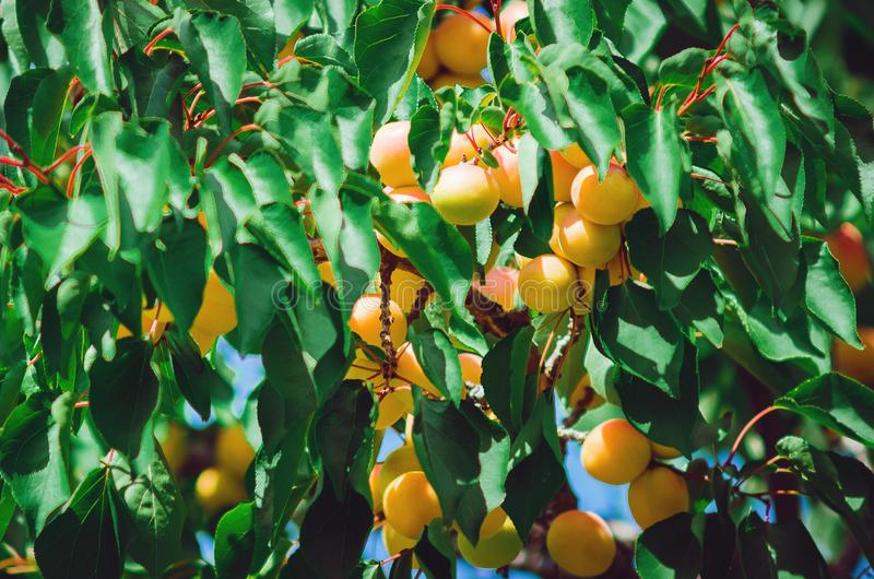 Filial av ett aprikostr?d med mogna frukter royaltyfria foton