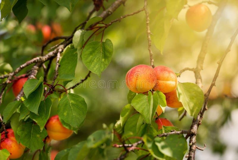 Filial av ett aprikostr?d med mogna frukter royaltyfri foto