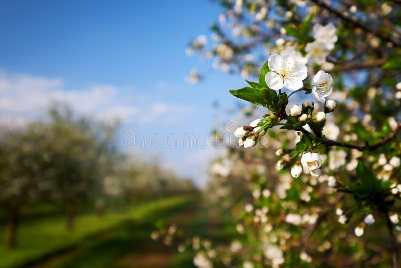 Filial av ett blomstra körsbärsrött träd Blommaknoppar av körsbäret royaltyfri bild