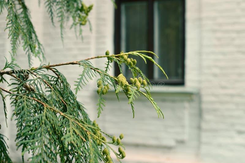Filial av ett grönt barrträd arkivbild