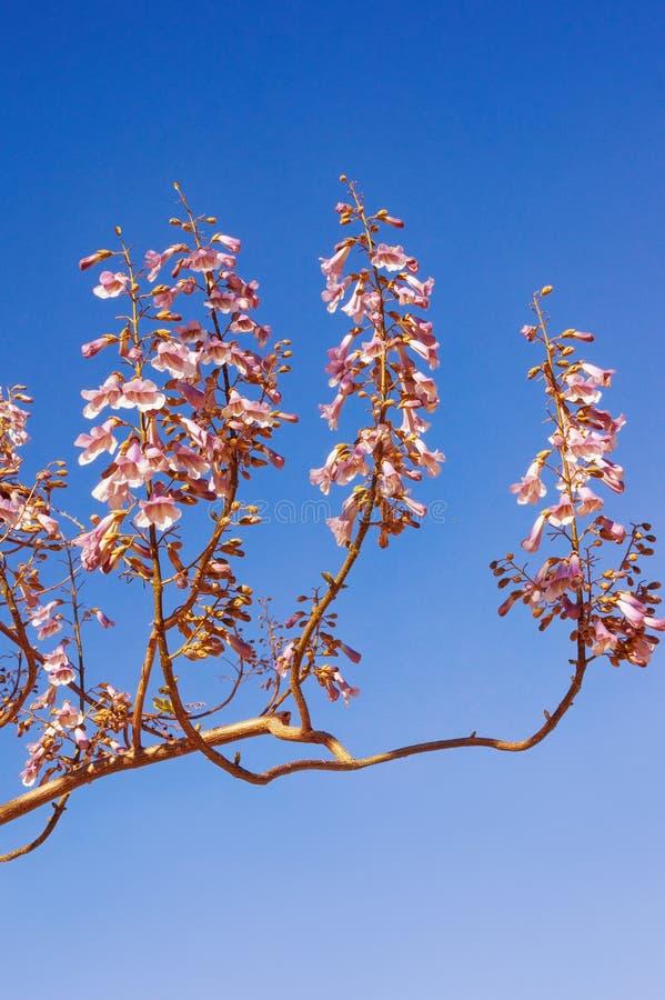 Filial av ett Paulowniatomentosaträd mot blå himmel på solig dag arkivbild