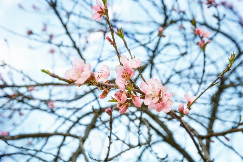 Filial av ett persikaträd med rosa blommor mot den blåa himlen Gammal vykort, design i grunge och retro stil arkivfoton