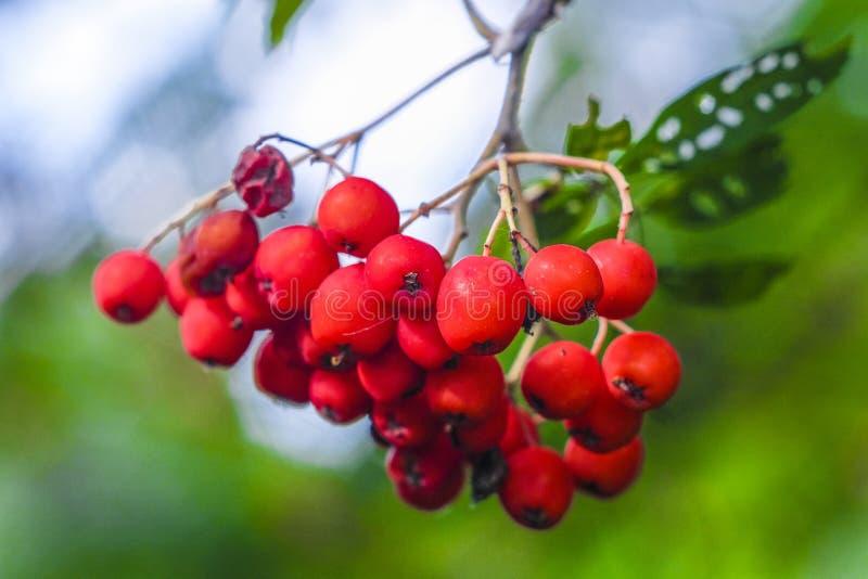 Filial av ett rött ashberry arkivfoton