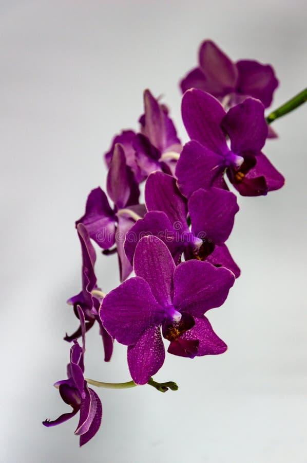 Filial av härlig mörk purpurfärgad orkidéblommaPhalaenopsis, öde som är bekant som malorkidén, eller Phal, på vit bakgrund royaltyfria bilder
