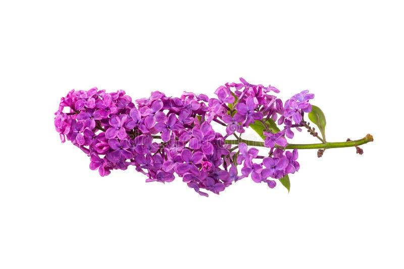 Filial av isolerade purpurfärgade lilor arkivbilder