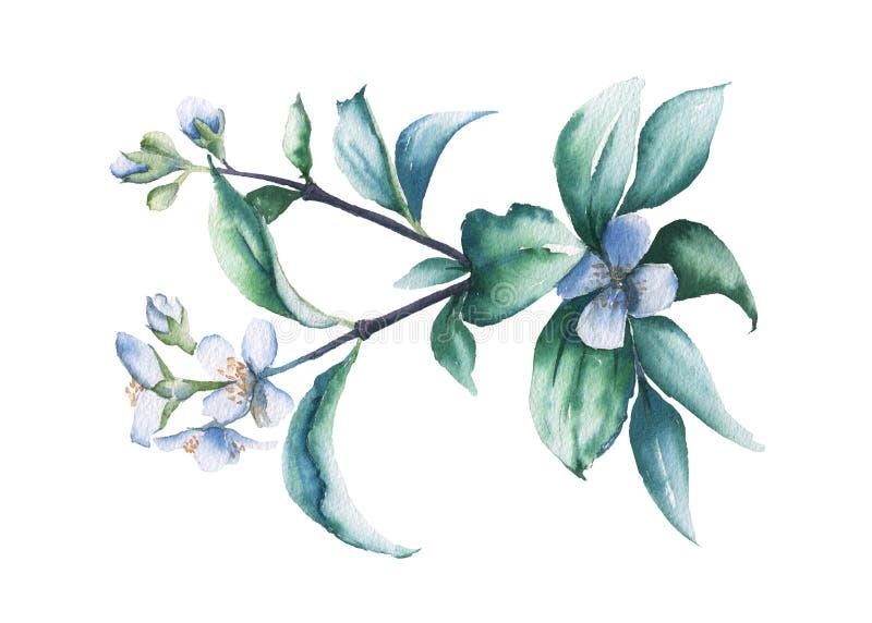 Filial av jasmin bakgrund isolerad white för flygillustration för näbb dekorativ bild dess paper stycksvalavattenfärg royaltyfri illustrationer