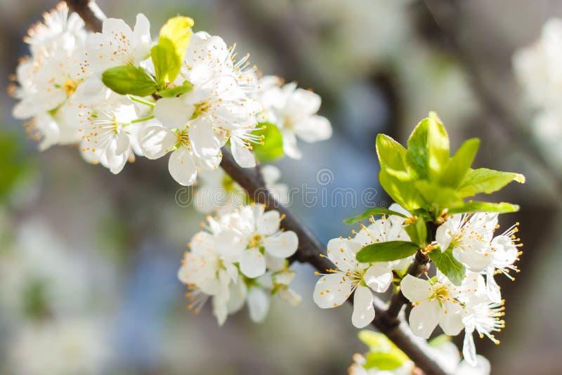 Filial av körsbärsröda flovers royaltyfri foto
