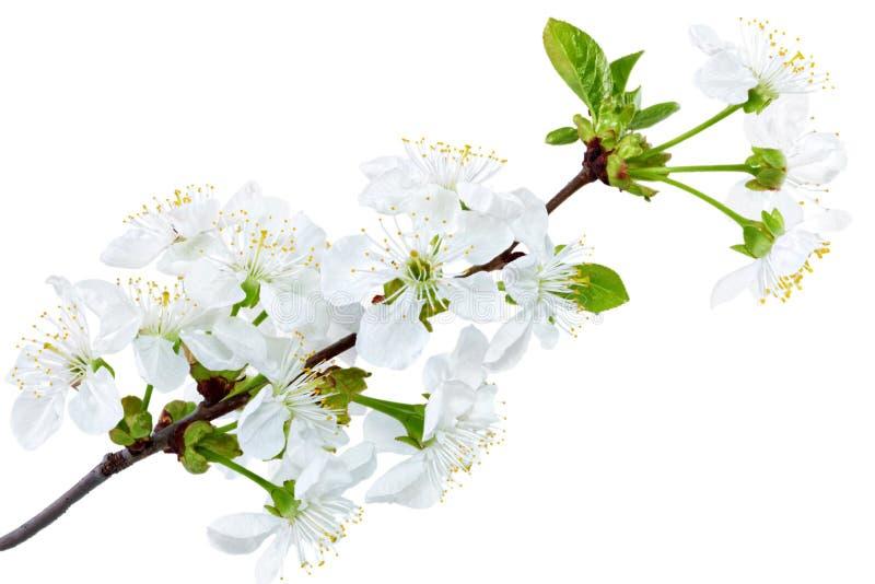 Filial av kvisten med blomningar. Isolerat på vit bakgrund. arkivfoto