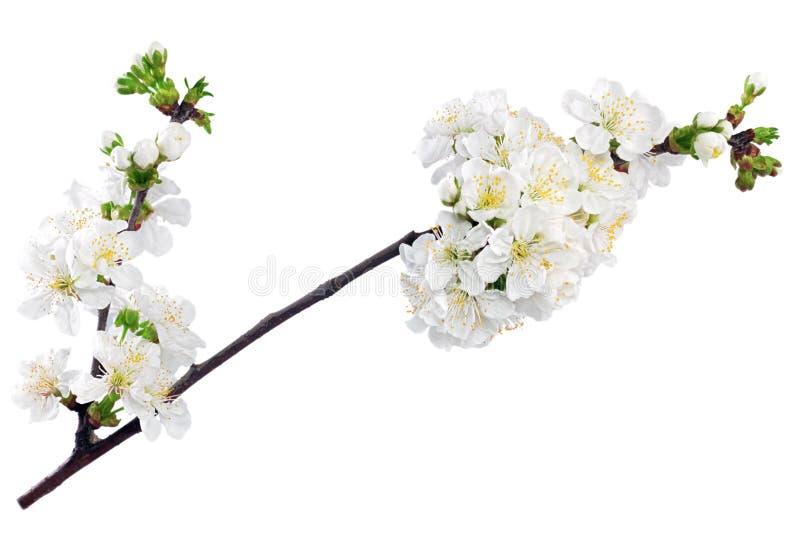 Filial av kvisten med blomningar. Isolerat på vit bakgrund. royaltyfri bild