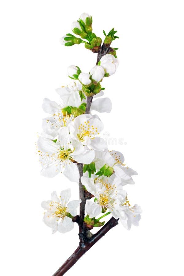 Filial av kvisten med blomningar. Isolerat på vit bakgrund. arkivfoton