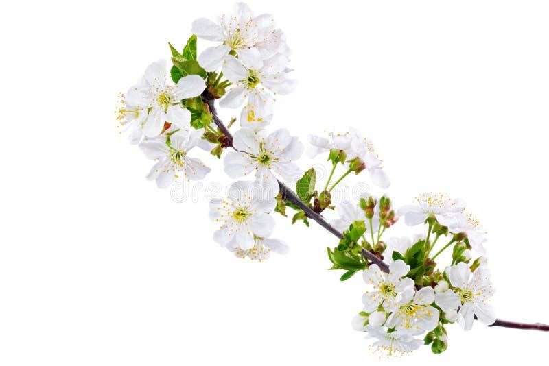 Filial av kvisten med blomningar. Isolerat på vit bakgrund. fotografering för bildbyråer