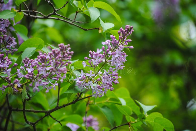Filial av lilan i skogen royaltyfri bild