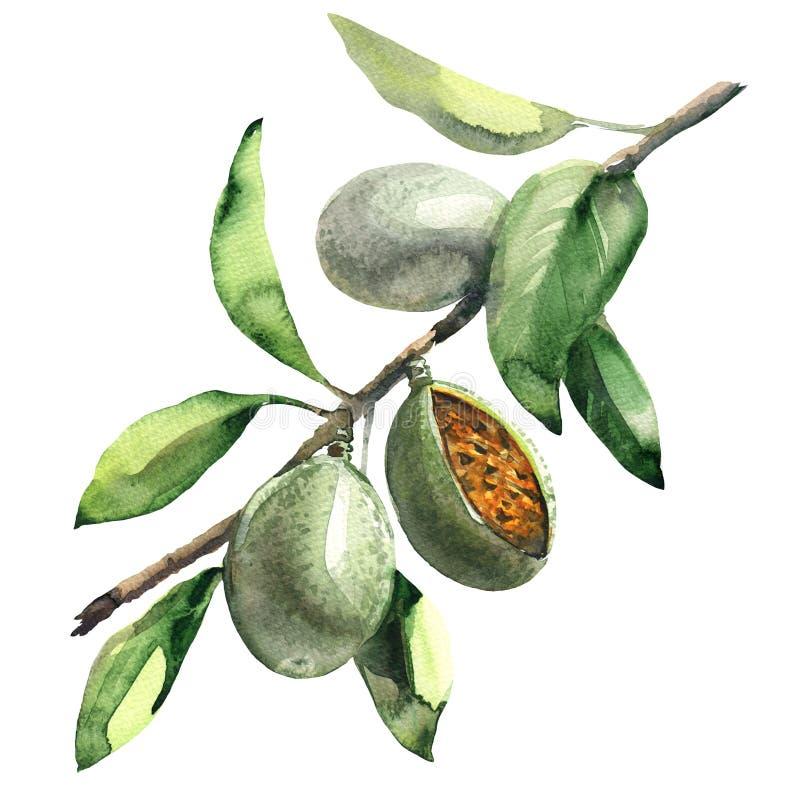 Filial av mandelträdet med isolerade gröna mandlar, vattenfärgillustration royaltyfri illustrationer