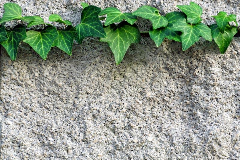 Filial av murgrönan som vävas över en grå tegelstenvägg fotografering för bildbyråer
