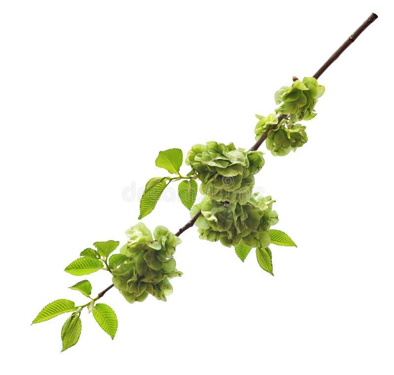 Filial av nya gröna alm-träd sidor med blommor royaltyfria foton