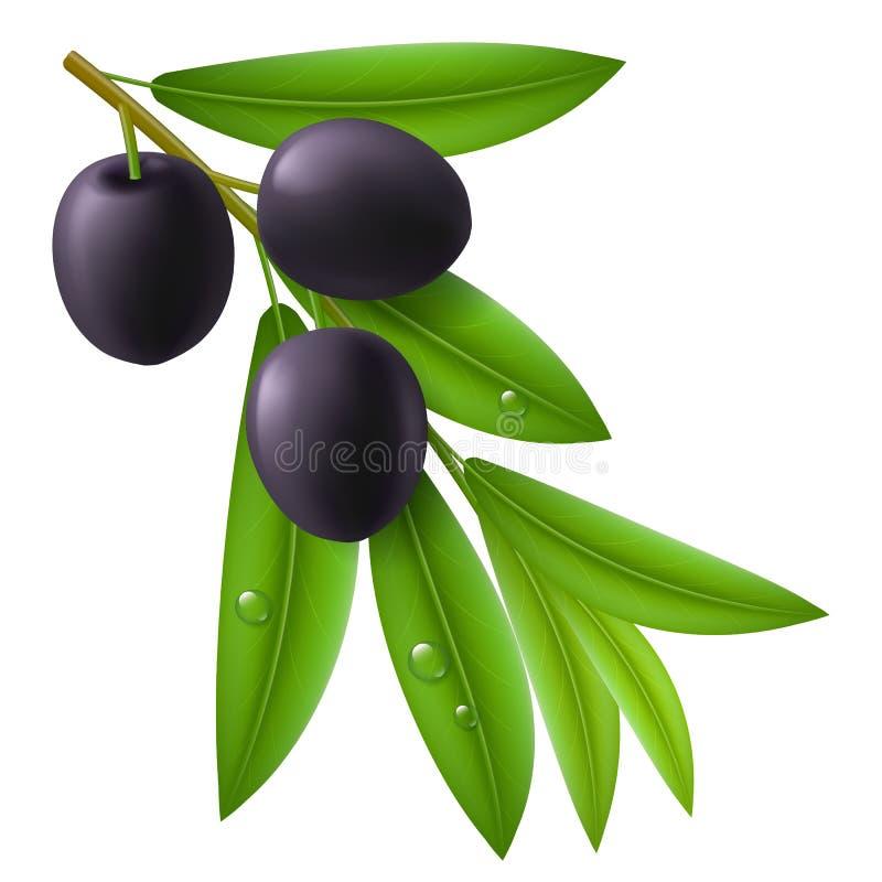 Filial av olivträdet med mogna svarta oliv vektor illustrationer