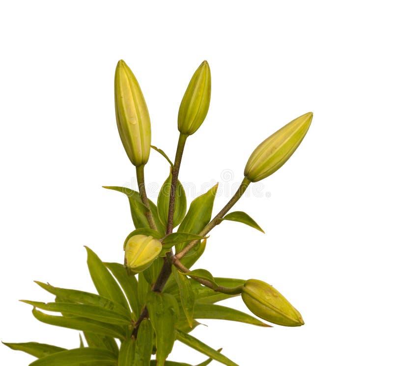 Filial av orientaliska bland för liljor (LiliumLA-bland) med knoppar arkivfoto