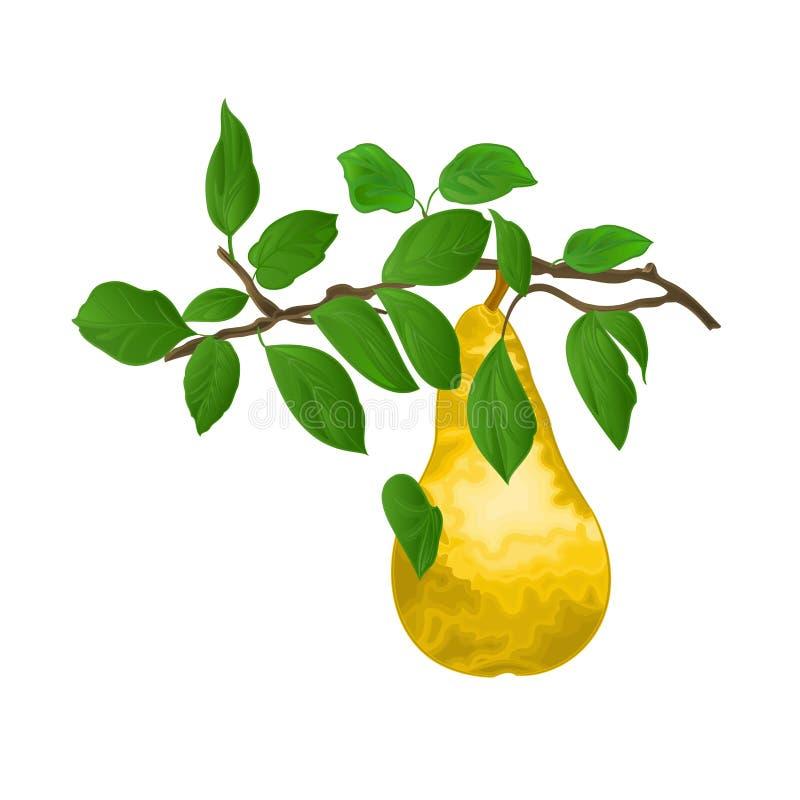 Filial av päron med det gula mogna päronet och sidor på den redigerbara vita illustrationen för vektor för vitage för höstbakgrun royaltyfri illustrationer